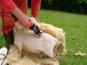 a482d228275 Comment tondre un mouton   – quatrepattessousuntoit.fr